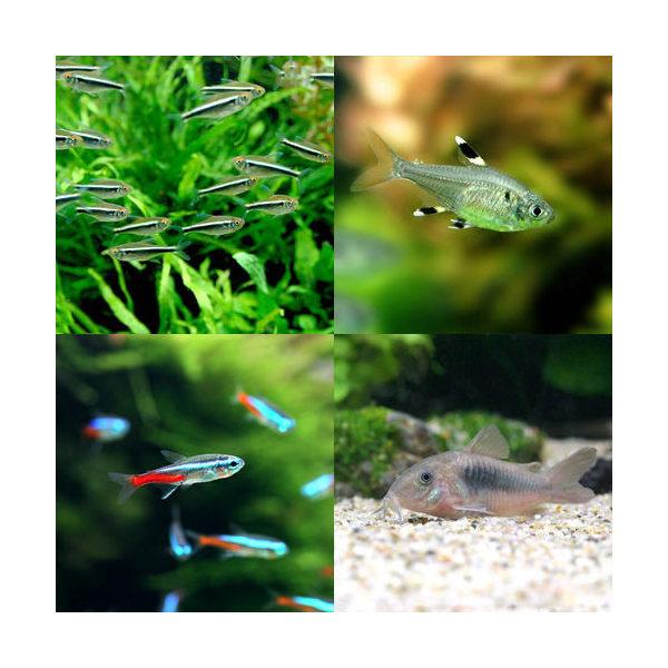 Chanet Tropical Fish 60 Cm Neon Tetra Aquarium For Staple Set 10