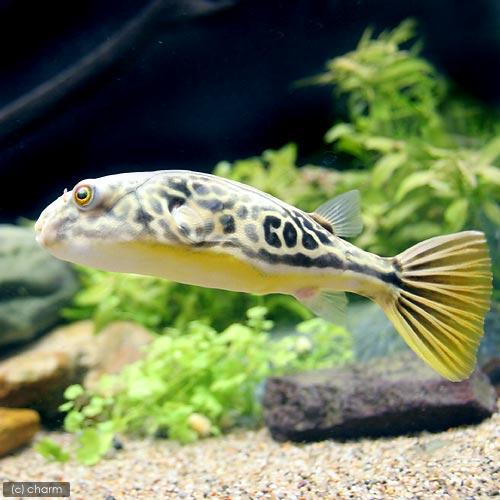 (熱帯魚)テトラオドン・ムブ 10~14cm(1匹) 沖縄別途送料 北海道航空便要保温