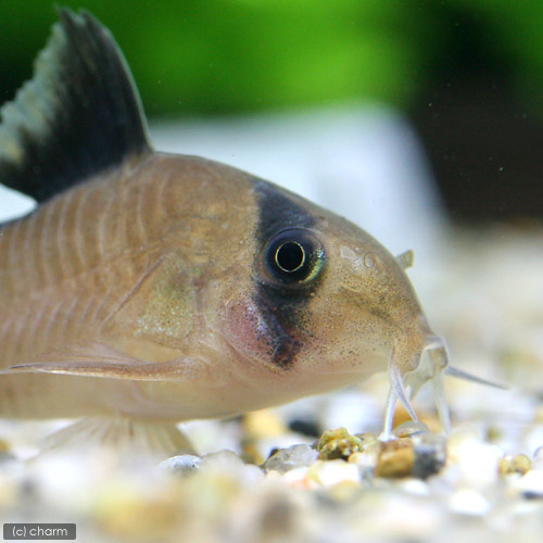 (熱帯魚)コリドラス・メタエ(ワイルド)(3匹) 北海道・九州・沖縄航空便要保温