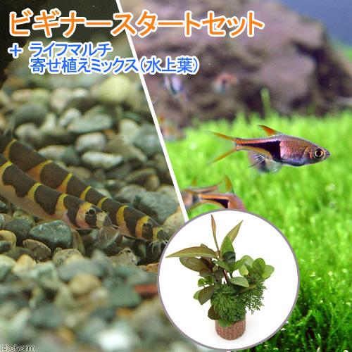 (熱帯魚)(水草)ビギナースタートセット ラスボラ・ヘテロモルファ(6匹) +クーリーローチ(3匹) 北海道・九州・沖縄航空便要保温
