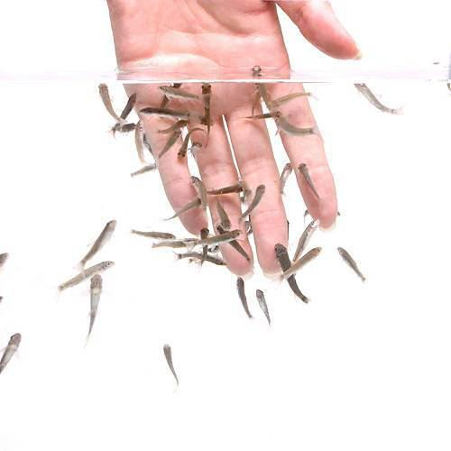 (熱帯魚)ガラ・ルファ(ドクターフィッシュ)(100匹) 沖縄別途送料 北海道・九州・沖縄航空便要保温
