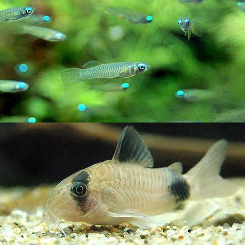(熱帯魚)アフリカン・ランプアイ Sサイズ(20匹) + コリドラス・パンダ(3匹) 北海道・九州・沖縄航空便要保温