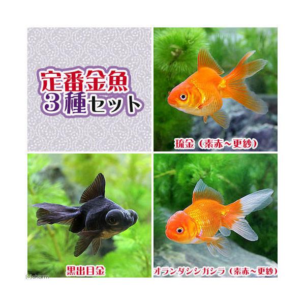 (国産金魚)定番金魚3種セット(各1匹) 北海道・九州航空便要保温