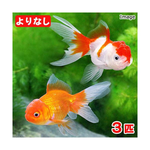 (国産金魚)よりなし(無選別) オランダ獅子頭/オランダシシガシラ 素赤~更紗(3匹)