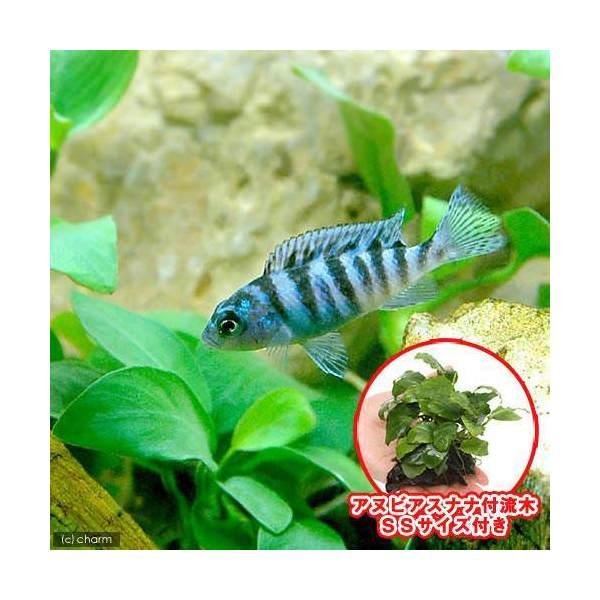 Chanet Tropical Fish Golden Zebra Cichlid 4 Cats Aquatic