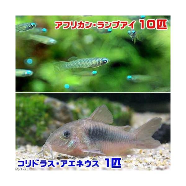 熱帯魚 アフリカン ランプアイ 10匹 アエネウス 北海道航空便要保温 コリドラス 1匹 超特価 公式サイト