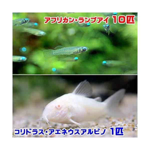 熱帯魚 アフリカン ランプアイ 10匹 物品 コリドラス 新作続 北海道航空便要保温 アエネウス 1匹 アルビノ