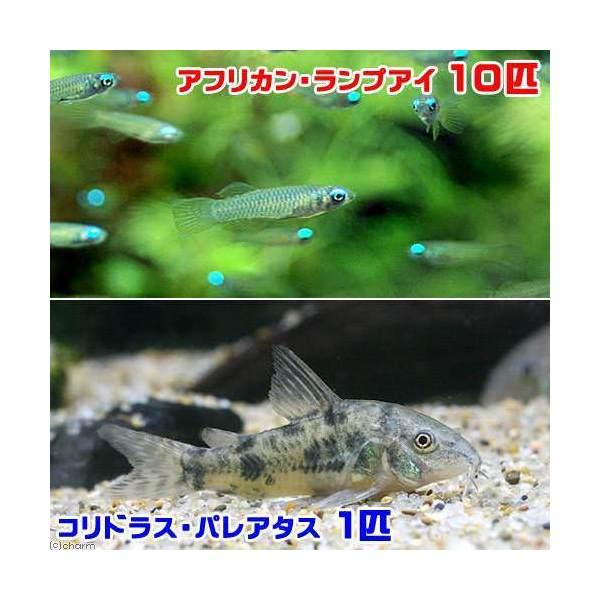 熱帯魚 アフリカン ランプアイ 10匹 北海道航空便要保温 5☆大好評 コリドラス パレアタス 海外 1匹