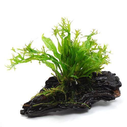 水草 実物 ミクロソリウム ウェンディロフ 流木 1本 SSサイズ 当店限定販売 約10cm