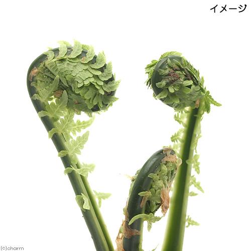 山野草 代引き不可 シダ 羊歯 コゴミ クサソテツ 家庭菜園 1ポット 山菜 全品最安値に挑戦 3~4号