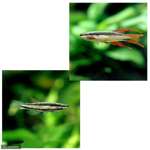 (熱帯魚)アフィオセミオン・バイビテイタム ラゴス(1ペア) 北海道・九州・沖縄航空便要保温