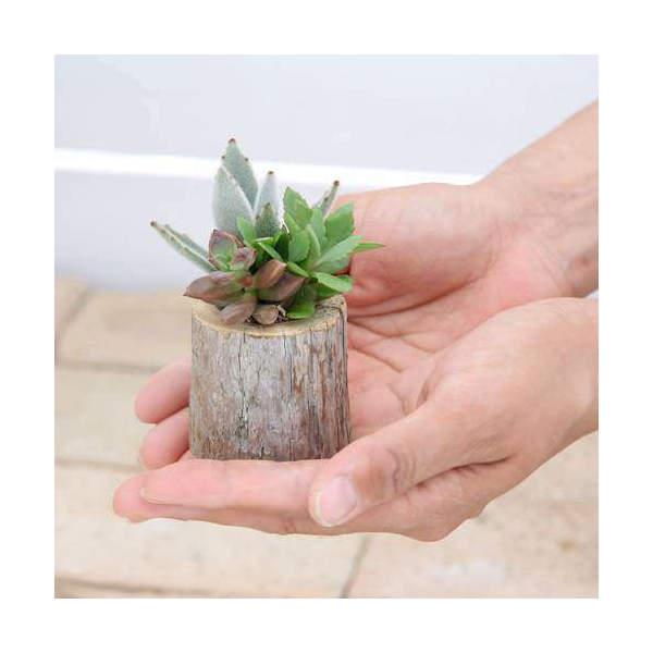 (観葉植物)私のオアシス 多肉寄せ植え 流木ポット mini(1個)