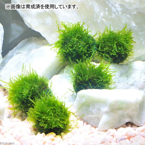 (エビ)(水草)ミナミヌマエビ(5匹)+巻きたて ウィローモスボール 1個 北海道・九州航空便要保温