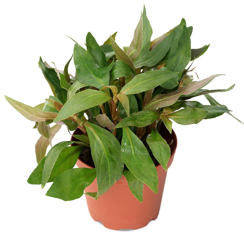 (水草)アルテルナンテラ カーディナリス(水上葉) 鉢植え(無農薬)(1鉢) 北海道航空便要保温