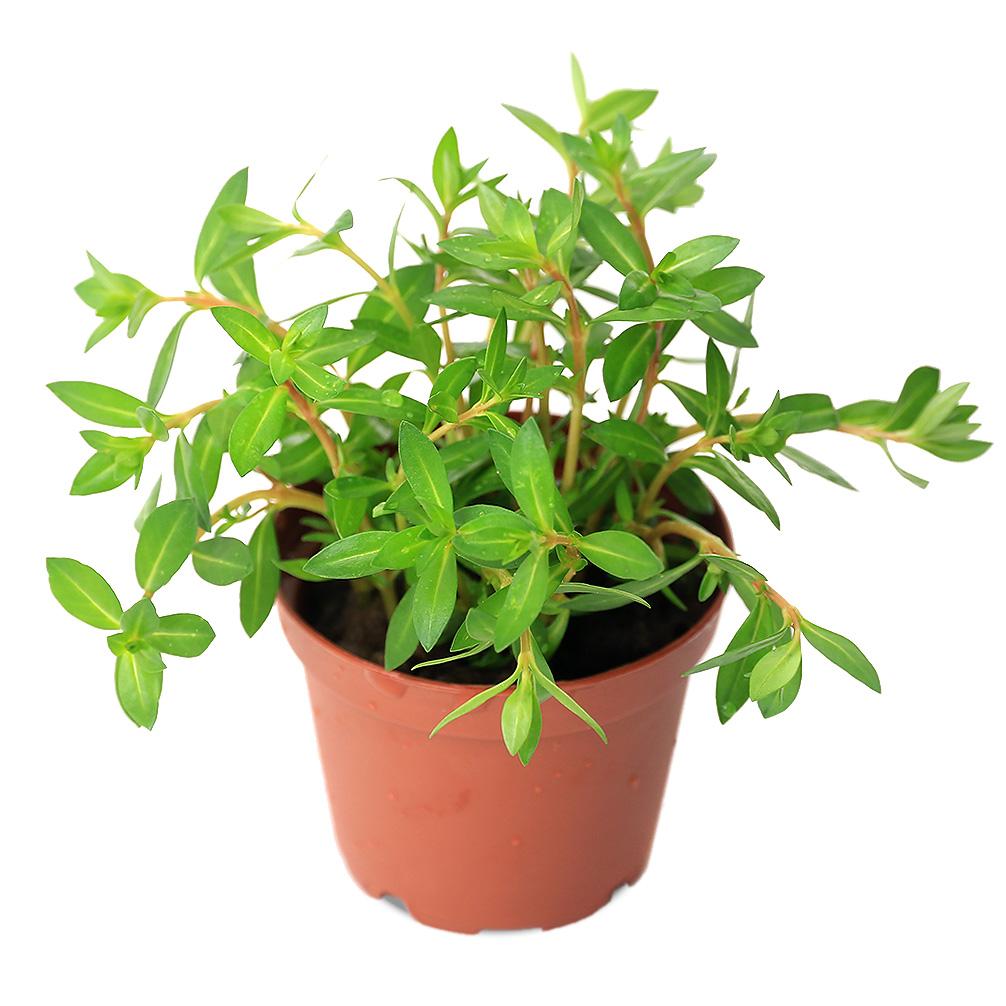 (水草)ニードルリーフ ルドウィジア(水上葉) 鉢植え(無農薬)(1鉢) 北海道航空便要保温