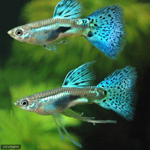 (热带鱼) 织带的蓝草孔雀鱼 (国内品种) (1 三重奏) 北海道和九州岛上的空气热