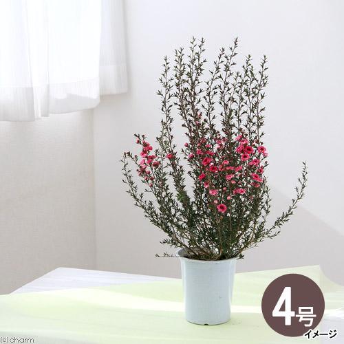 観葉植物 ギョリュウバイ いよいよ人気ブランド ピンク 八重 新作送料無料 1鉢 4号