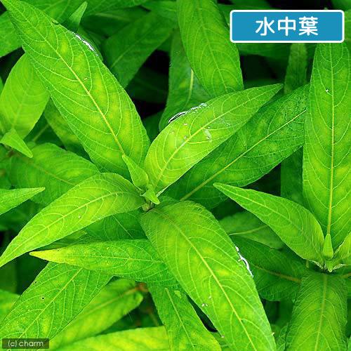 (水草)ハイグロフィラ サリチフォリア(水上葉)(無農薬)(3本) 北海道航空便要保温