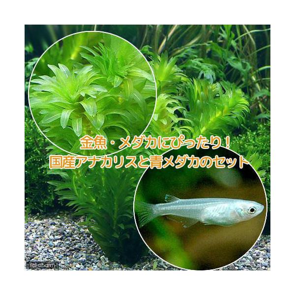 めだか 水草 メダカ 金魚藻 国産 期間限定お試し価格 アナカリス 6匹 低価格化 無農薬 5本 青メダカ