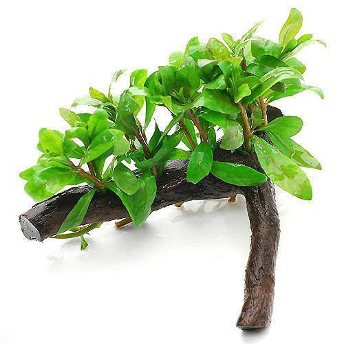 水草 店内全品対象 ハイグロフィラ ポリスペルマ 流木付 Sサイズ 感謝価格 約15cm 1本 無農薬 水上葉