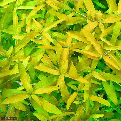 (水草)ハイグロフィラ ポリスペルマ 流木付 Sサイズ(水上葉)(無農薬)(1本)(約15cm) 北海道航空便要保温