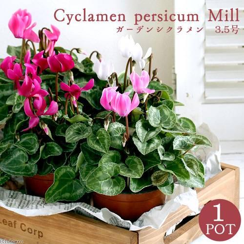 観葉植物 ガーデンシクラメン 花色おまかせ 即納送料無料 有名な 1ポット 3~3.5号
