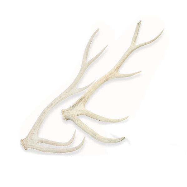 □(大型)一点物 国産 鹿の角 オブジェ オブジェ XLサイズ 2本 2本 XLサイズ E-002 別途大型手数料・同梱不可, 結婚出産引越はがき制作ブラン:44e68a79 --- officewill.xsrv.jp