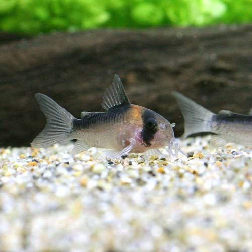 (熱帯魚)コリドラス・デュプリカレウス(ブリード)(3匹) 北海道・九州航空便要保温
