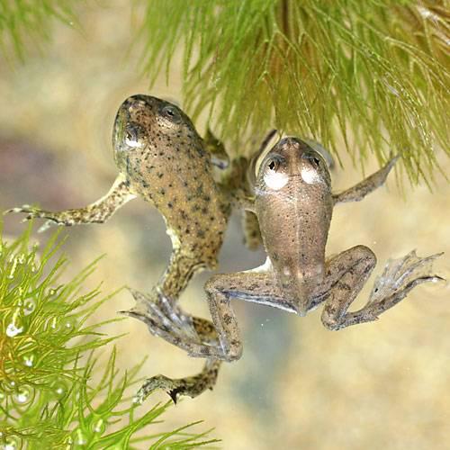 (两栖类)纯朴的饲料ukigaeru(5)arowana饲料饲料冲绳、孤岛不可空运不可能