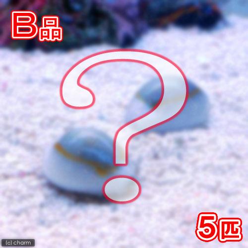 (海水魚)貝 (B品)タカラガイミックス(5匹) 北海道・九州航空便要保温