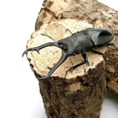 (昆虫)ギラファノコギリクワガタ ジャワ産 成虫(WD)85~89mm(1ペア) 北海道航空便要保温