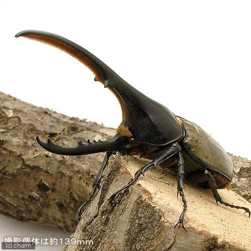(昆虫)ヘラクレス・ヘラクレス グアドループ産 成虫 オス131mm メス60mm(1ペア) ヘラクレスオオカブトムシ 沖縄別途送料
