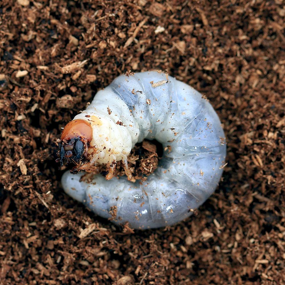 (昆虫)ニジイロクワガタ クィーンズランド産 幼虫(初~2令)(5匹)