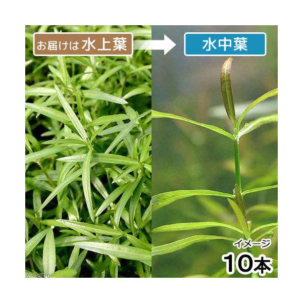 (水草)ケニオイグサsp.オレンジ(水上葉)(無農薬)(10本) 北海道航空便要保温