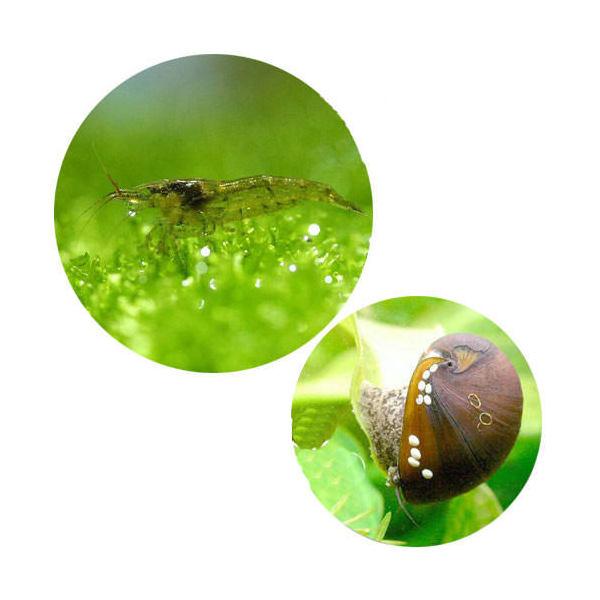 (エビ・貝)コケ対策セット 大型水槽用 ミナミヌマエビ(100匹)+(B品)カバクチカノコ貝(3匹) 北海道航空便要保温