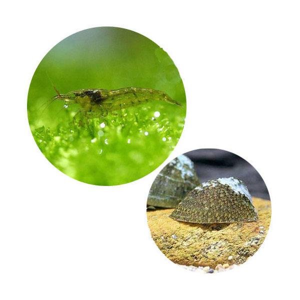 エビ 貝 付与 コケ対策セット 大型水槽用 上品 ミナミヌマエビ フネアマ貝 100匹 北海道航空便要保温 3匹 B品