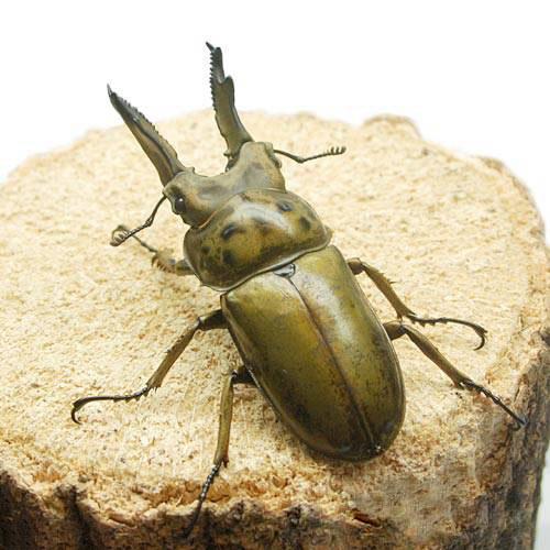 (昆虫)(B品)ババオウゴンオニクワガタ ミャンマー テナセリウム産 67mm(1ペア) 沖縄・離島不可 タイム便・航空便不可