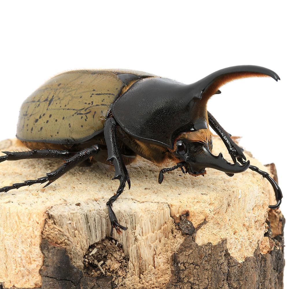 (昆虫)(B品)ヘラクレス·ヘラクレス グアドループ産 オス89mm(1ペア) 沖縄·離島不可 タイム便·航空便不可