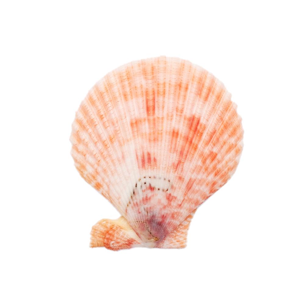 初売り 貝殻 シェルコレクション 人気上昇中 ヒオウギガイ おまかせカラー Mサイズ 関東当日便 1個 形状おまかせ 片面タイプ