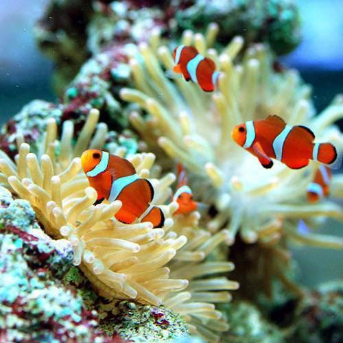 (海水魚)カクレクマノミ(国産ブリード)(20匹)熱帯魚 沖縄別途送料 北海道・九州航空便要保温