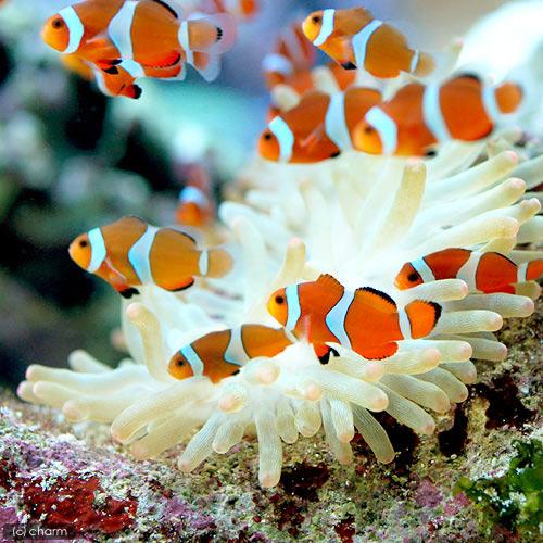 (海水魚)カクレクマノミ(国産ブリード)(50匹)熱帯魚 北海道・九州航空便要保温 沖縄別途送料