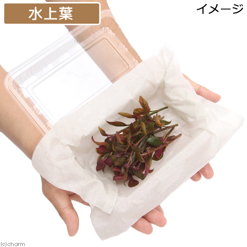 (水草)アルテルナンテラ レインキー ブルグンデロット(水上葉)(無農薬)(10本) 北海道航空便要保温