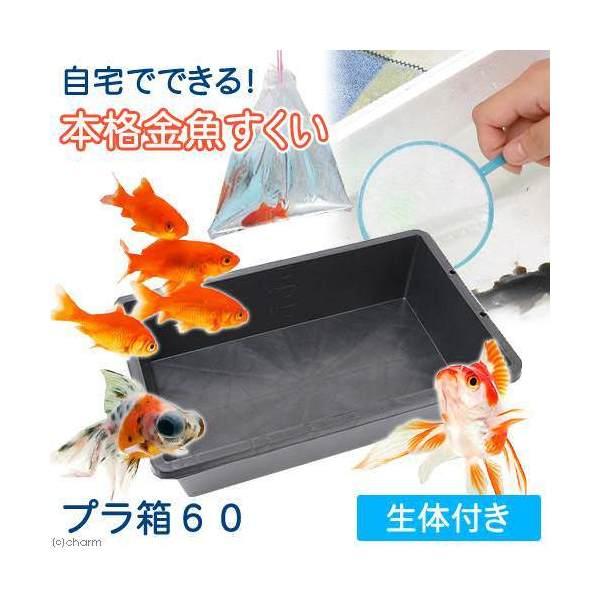 (金魚)自宅でできる 本格金魚すくい プラ箱60 金魚袋+ポイ+金魚生体付き 本州・四国限定