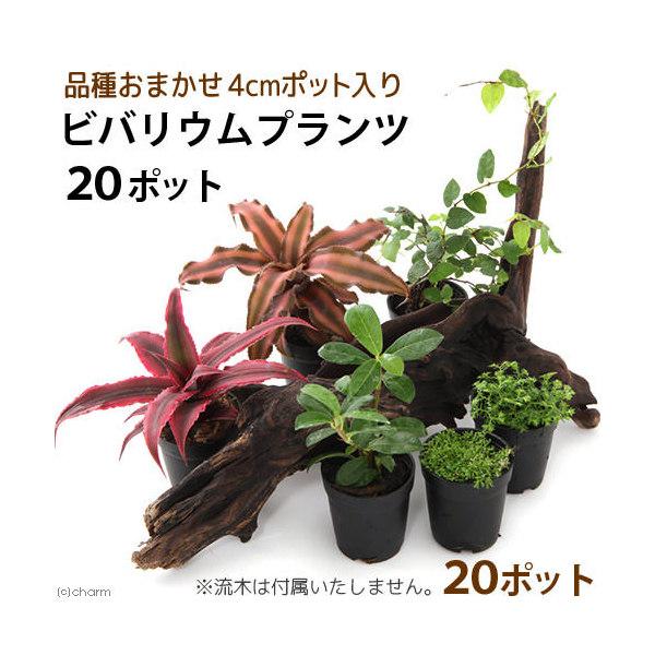 (観葉植物)ビバリウムプランツ 品種おまかせ 3cmポット入り(20ポット) 沖縄別途送料 北海道冬季発送不可
