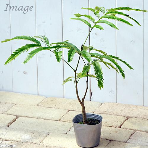 観葉植物 エバーフレッシュ 激安価格と即納で通信販売 3号 売り込み 1ポット