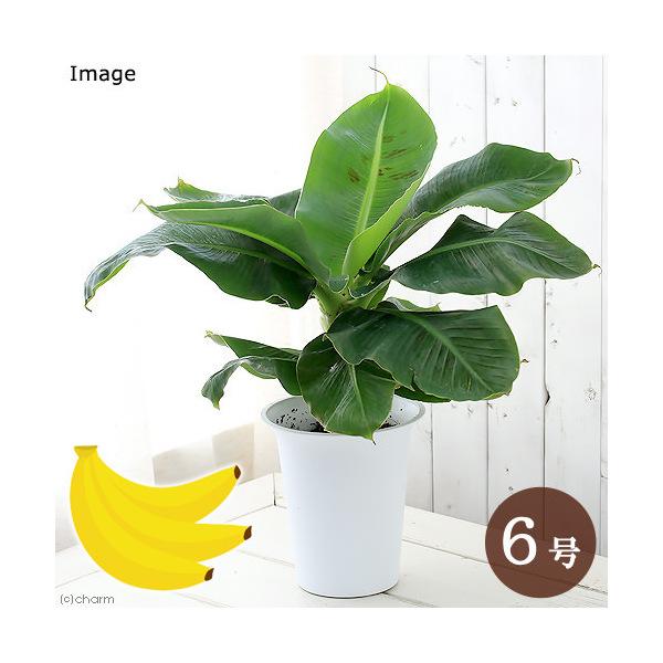 観葉植物 人気ブレゼント バナナ 出群 三尺バナナ 6号 1鉢