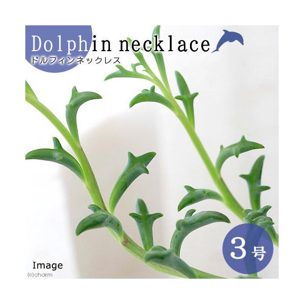 激安通販専門店 観葉植物 正規認証品 新規格 ドルフィンネックレス 2.5~3号 1ポット