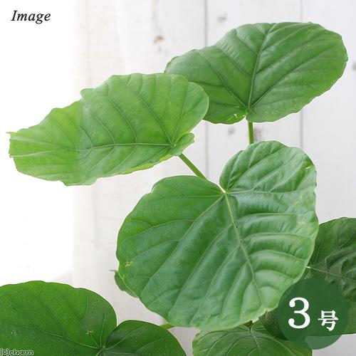 (観葉植物)フィカス ウンベラータ 3号(1ポット)