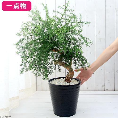 (観葉植物)一点物 アローカリア ヘテロフィラ シマナンヨウスギ 黒波陶器鉢植え 7号 NO.2(1鉢) 沖縄別途送料