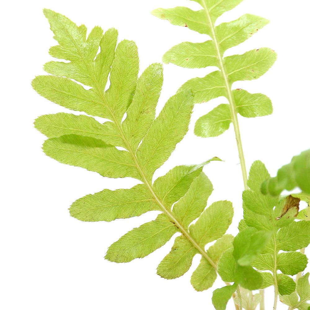 観葉植物 OUTLET SALE ビバリウムプランツ ブレクナム 1ポット お金を節約 3cmポット シルバーレディ